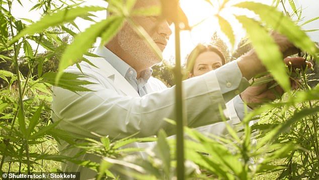 The London Stock Exchange does not have a lot of medicinal cannabis companies but the numbers are swelling, reflecting increasing interest in this sector